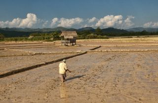 A famer plants his rice paddy in Laos.