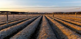 This photograph shows a field of ginseng in Wisconsin.