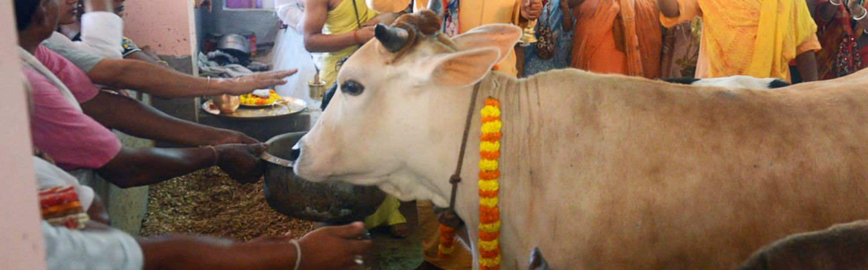 Cows: A Symbol of Divinity and Discord in Modi's India