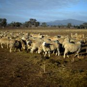 This photo taken on Aug. 7 shows sheep grazing on a dry paddock in the drought-hit area of Duri in New South Wales.