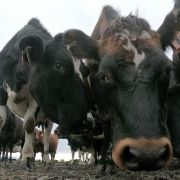This photo shows cattle on a farm in Ashburton, New Zealand