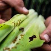 An infestation of fall armyworms, a pest native to the Americas, is damaging crops across southern Africa, especially corn, threatening the livelihoods of the region's subsistence farmers.