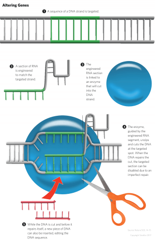 This graphic illustration shows how some gene-editing technologies, such as CRISPR, work.