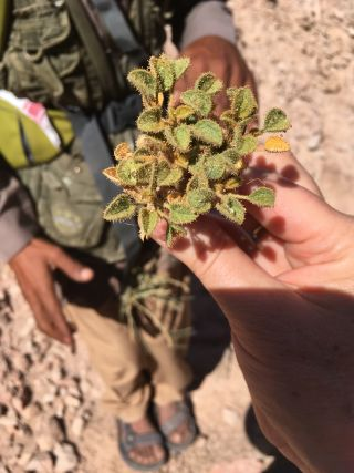 The samwa plant has medicinal properties, according to Bedouins in Egypt's Sinai Desert.