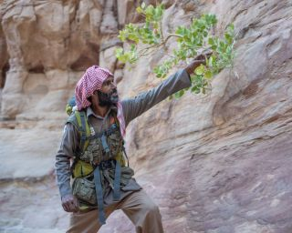 Bedouin guide Musallem Faraj points to a lasaf plant growing from a canyon wall. Lasaf leaves gather dew and water vapor from the air, and can be used as a salve.